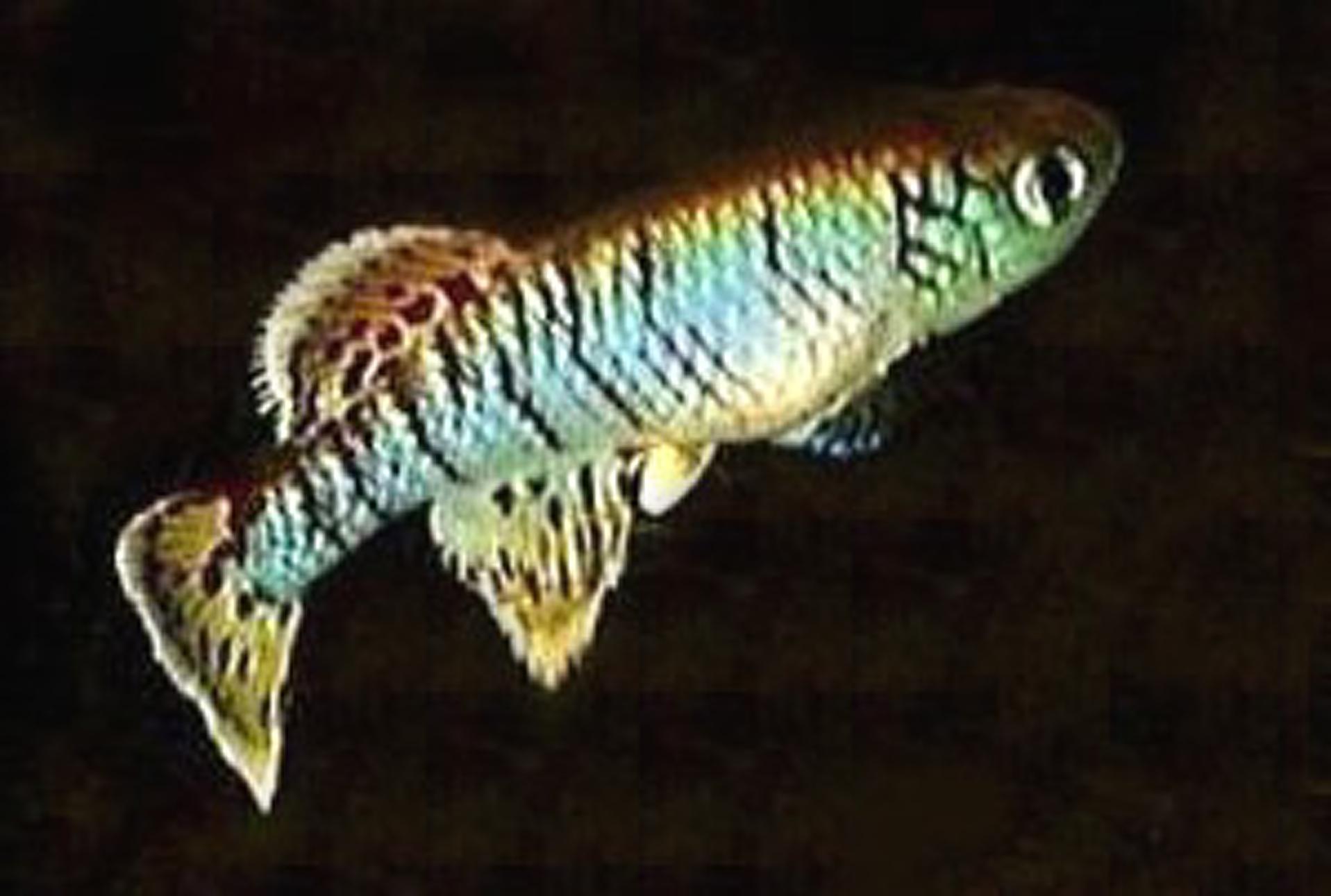 ไข่ปลาคิลลี่สายพันธุ์ Nothobranchius eggersi blue(Eggersi Blue Rufiji river camp TAN95) จำนวน 50 ฟอง