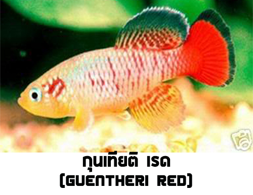 ไข่ปลาคิลลี่ สายพันธุ์ Nothobranchius Guentheri (กุนเทียติ เรด) Red จำนวน 30 ฟอง
