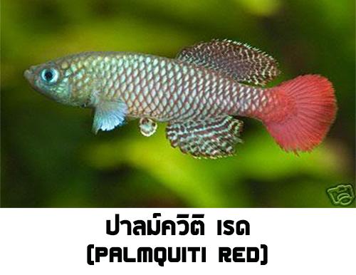 ไข่ปลาคิลลี่ สายพันธุ์ Nothobranchius palmquisti red (Palmquisti Gezani TAN95/16) จำนวน 30 ฟอง