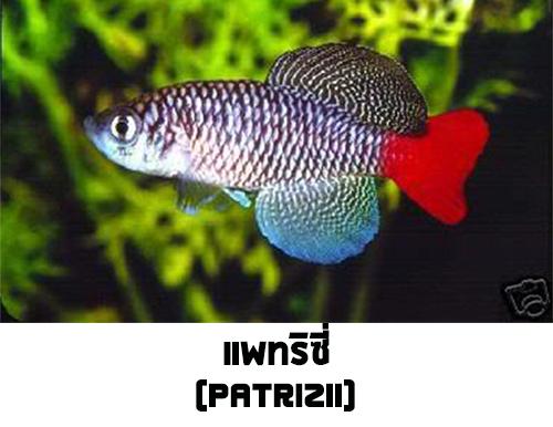 ไข่ปลาคิลลี่ สายพันธุ์ Nothobranchius patrizii (Patrizii Jenalle) จำนวน 30 ฟอง
