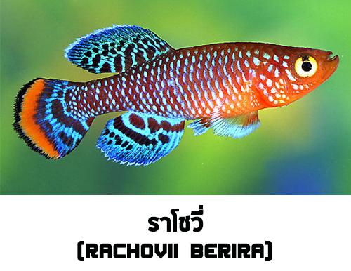 ไข่ปลาคิลลี่ สายพันธุ์ Nothobranchius rachovii (Rachovii Beira 98) จำนวน 30 ฟอง
