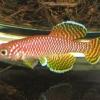 ไข่ปลาคิลลี่ สายพันธุ์ Nothobranchius korthausae yellow (Korthausae (Yellow) Kwachepa TZ)จำนวน 30 ฟอง