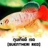 ไข่ปลาคิลลี่ สายพันธุ์ Nothobranchius Guentheri (กุนเทียติ เรด) Red จำนวน 50 ฟอง สำเนา