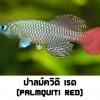 ไข่ปลาคิลลี่ สายพันธุ์ Nothobranchius palmquisti red (Palmquisti Gezani TAN95/16) จำนวน 50 ฟอง