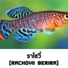ไข่ปลาคิลลี่ สายพันธุ์ Nothobranchius rachovii (Rachovii Beira 98) จำนวน 50 ฟอง