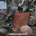 เมล็ดต้นปีศาจทะเลทราย (Welwitschia mirabilis)