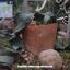 เมล็ดต้นปีศาจทะเลทราย (Welwitschia mirabilis) thumbnail 1