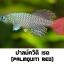 ไข่ปลาคิลลี่ สายพันธุ์ Nothobranchius palmquisti red (Palmquisti Gezani TAN95/16) จำนวน 30 ฟอง thumbnail 1