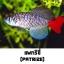 ไข่ปลาคิลลี่ สายพันธุ์ Nothobranchius patrizii (Patrizii Jenalle) จำนวน 50 ฟอง thumbnail 1