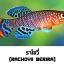ไข่ปลาคิลลี่ สายพันธุ์ Nothobranchius rachovii (Rachovii Beira 98) จำนวน 30 ฟอง thumbnail 1