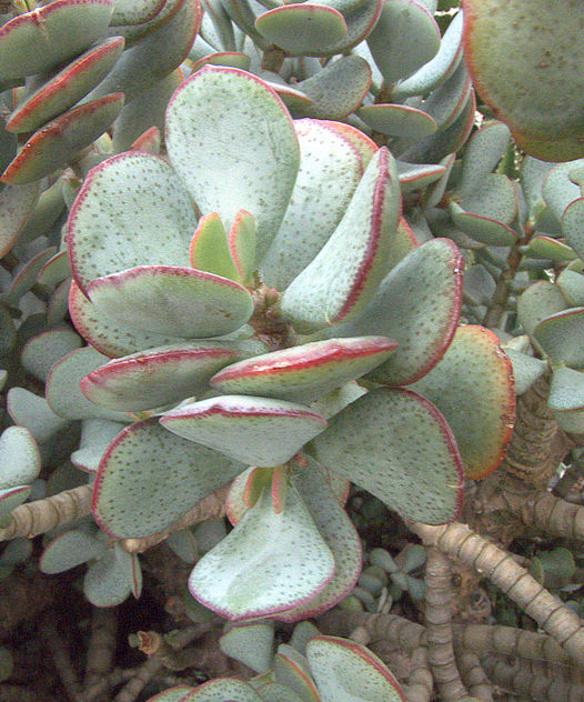 """คลาสซูร่า อาบอเรสเซน ต้นใบเงินสี Crassula arborescens """"silver dollar jade"""" / 20เมล็ด"""