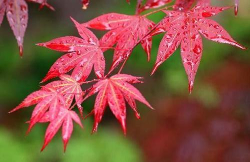 เมล็ดเมเปิ้ลแดง พันธ์ุญี่ปุ่น Red Japanese Maple Tree / 10 เมล็ด