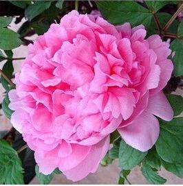 โบตั๋น สีชมพูอ่อน #11 Peony Light pink / 10 เมล็ด