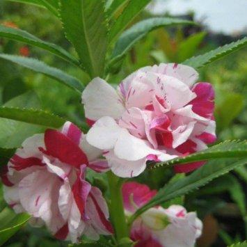 เทียนซ้อนด่าง สีขาวคลิบชมพูเข้ม Bicolor Rose Balsam #4 / 50เมล็ด