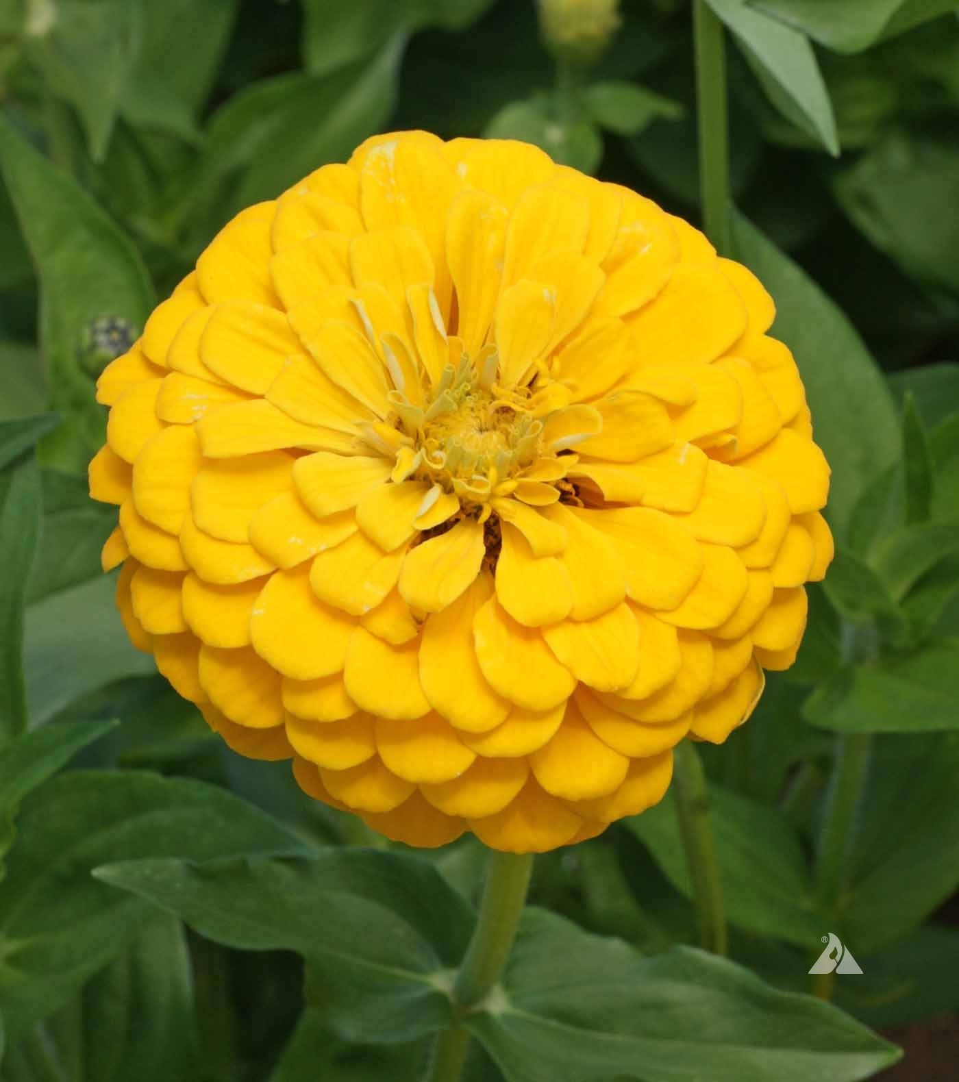 บานชื่นดอกซ้อน สีเหลือง (ต้นสูง) YELLOW Zinnia / 100เมล็ด