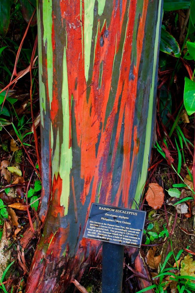 ยูคาลิปตัสสายรุ้ง (Rainbow Eucalyptus) / 20 เมล็ด