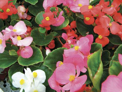 ดอกบีโกเนีย อีฟ มิกซ์ Begonia flowers Eve Mix /20 เมล็ด