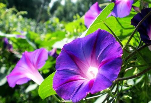 ผักบุ้งฝรั่ง สีฟ้า เฮฟวี่บลู Morning Glory heavy blue / 10 เมล็ด