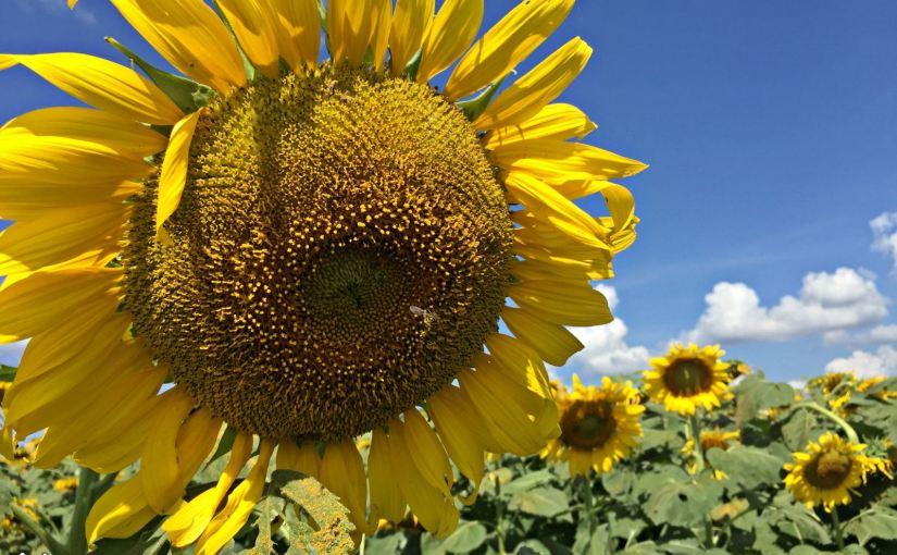 ทานตะวัน พันธ์จานดอกใหญ่ Big Sunflower /50 เมล็ด