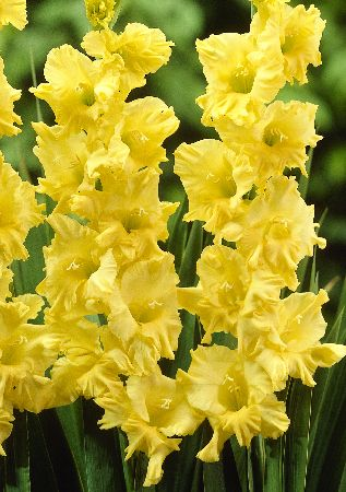 แกลดิโอลัส Gladiolus สีเหลือง / 1 หัว