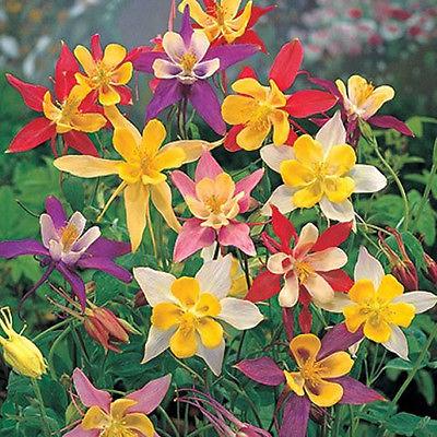 ดอกโคลัมไบน์ มิ๊กซ์ Columbine Flower Mix / 25 เมล็ด