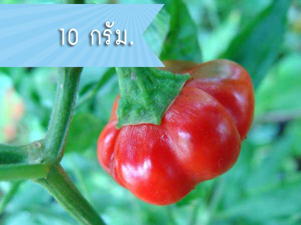 พริกฟักทอง (ซองใหญ่) / 1 กรัม