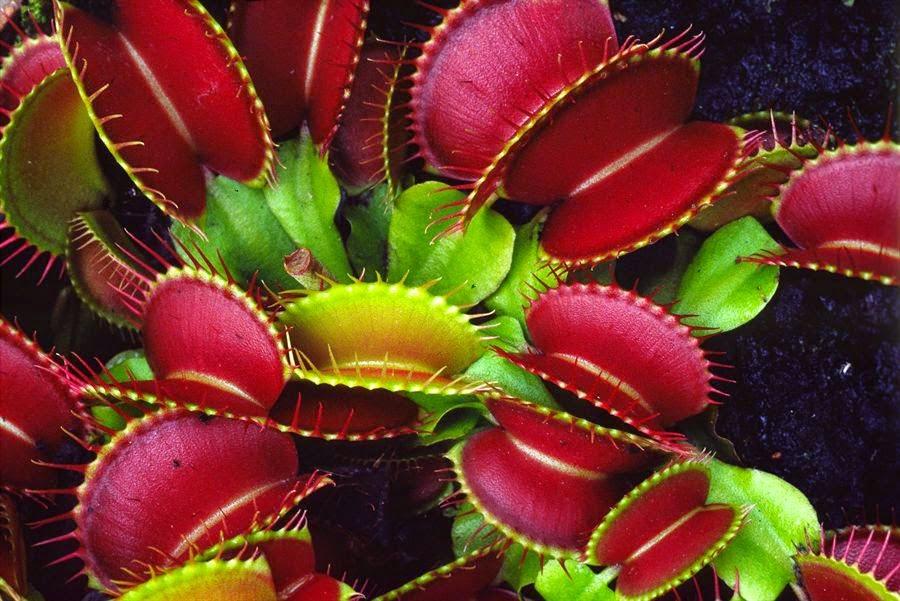 ต้นไม้กินแมลง กาบหอยแครง Venus flytrap Dionaea muscipula seeds / 20 เมล็ด