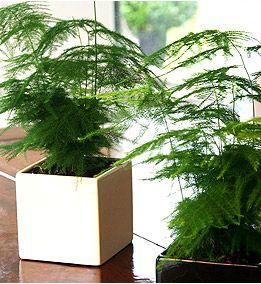 โปร่งฟ้า asparagus setaceus / 2 เมล็ด
