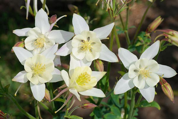 ดอกโคลัมไบน์ ขาว Columbine Flower / 15 เมล็ด