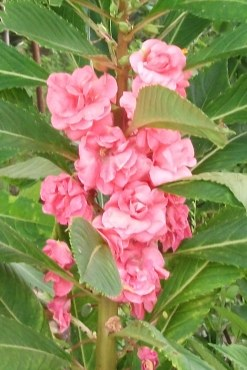เทียนซ้อน(ซองใหญ่) สีชมพู balsam pink #6 / 10 กรัม