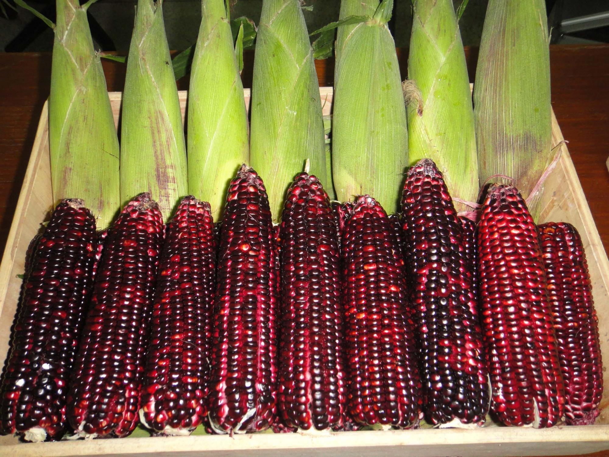 ข้าวโพดพันธ์ุสีม่วง Purple Corn / 40 เมล็ด