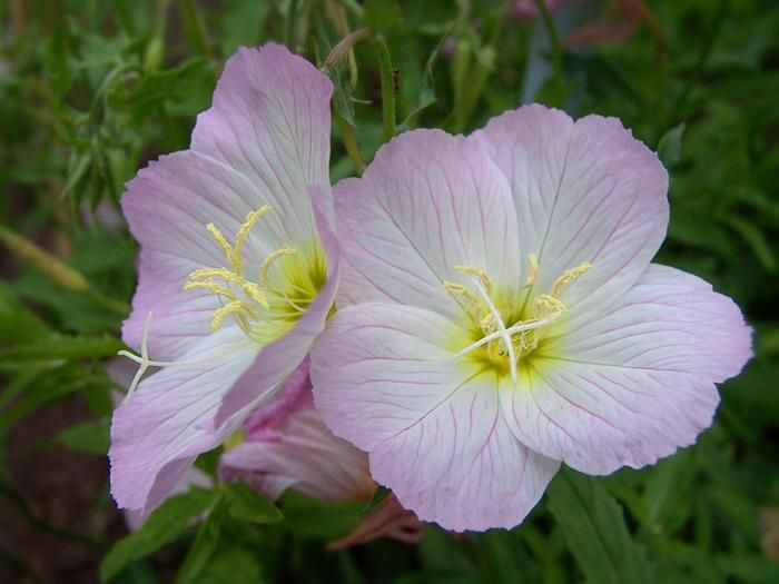 อีฟนิ่งพริมโรส สีชมพู Evening Primrose Showy Pink / 50 เมล็ด