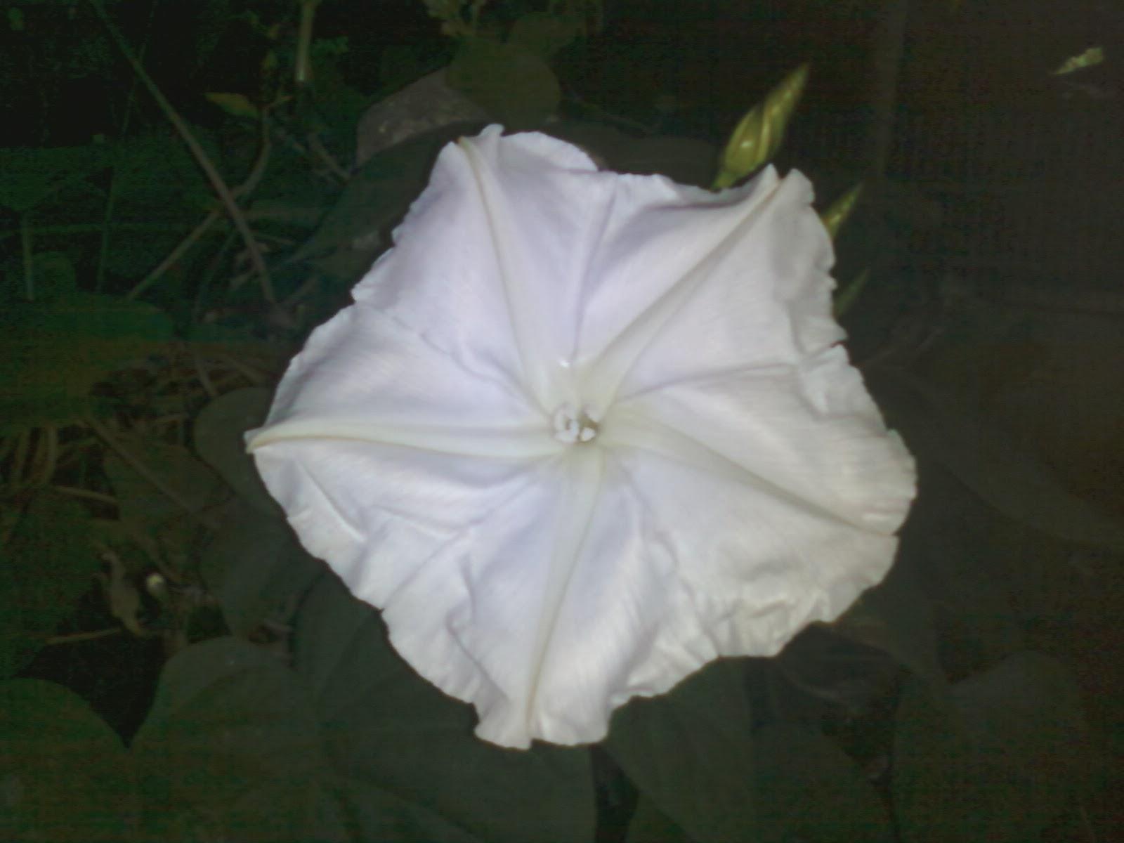 ดอกชมจันทร์ ดอกพระจันทร์ / 8 เมล็ด