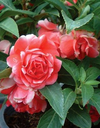 เทียนซ้อน เทียนฝรั่ง (ซองใหญ่) สีแดง #5 Balsam / 10 กรัม