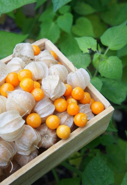 เมล็ดเคพกูสเบอร์รี่ (Cape gooseberry) / 100 เมล็ด