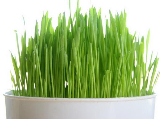เมล็ดข้าวสาลี เมล็ดหญ้าแมว หญ้าอาหารแมว / 100กรัม