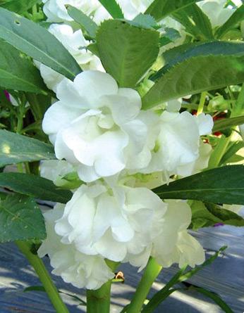 เทียนซ้อน สีขาว (Balsam) #7 / 100เมล็ด