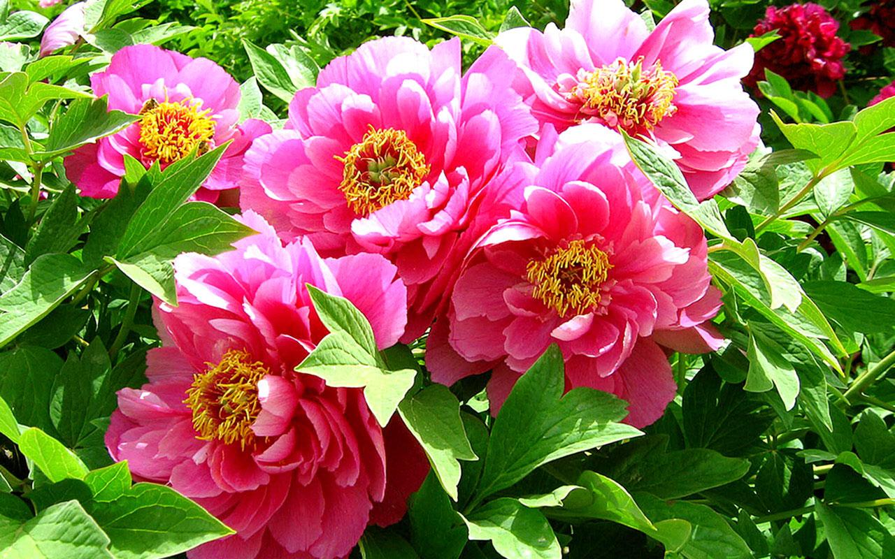 โบตั๋น สีชมพู #7 Peony Pink / 10 เมล็ด