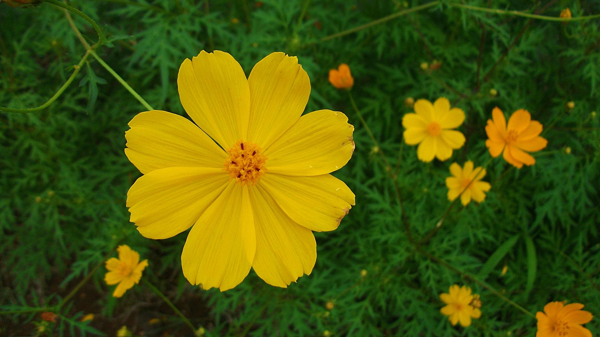 ดาวกระจายสีเหลือง (ต้นเตี้ย) #7 / 100เมล็ด