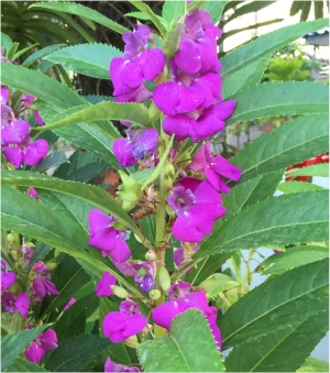 เทียนซ้อน (ซองใหญ่) แคนดี้ไวโอเล็ต สีม่วง balsam candy violet / 10 กรัม