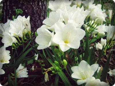ดอกฟรีเซีย Freesia / 20 เมล็ด