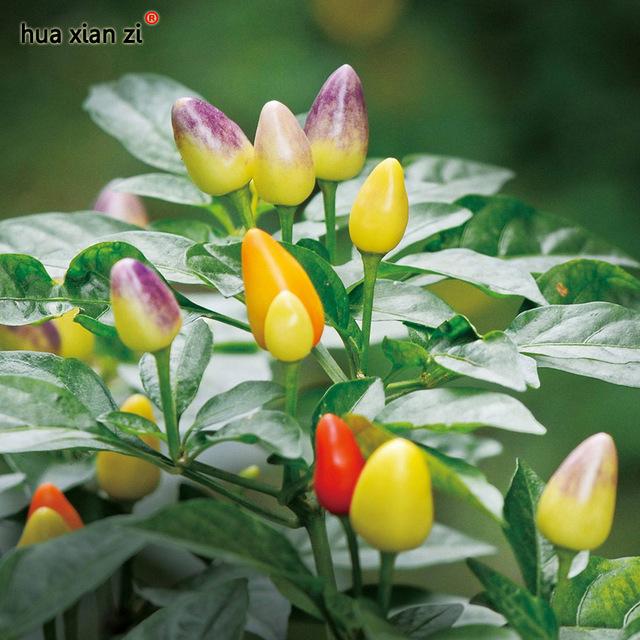 พริกประดับ หลากสี(เม็ดสั้น) Ornamental Pepper / 35 เมล็ด