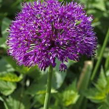 ดอกอัลเลี่ยม ดอกหอม Large flower onion seeds / 25 เมล็ด