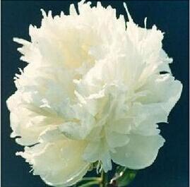โบตั๋น สีขาว #3 Peony White / 10 เมล็ด