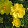 ดาวกระจายสีเหลือง (ต้นสูง) #10 / 100เมล็ด
