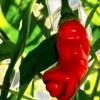 เมล็ดพันธุ์ พริกกระจู๋ Peter Pepper / 10 เมล็ด