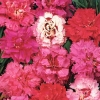 ดอกผีเสื้อ พลูมาเรียส สปริง บิวตี้ มิ๊กซ์ Dianthus Plumarius Spring Beauty Mix / 200 เมล็ด