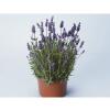 ลาเวนเดอร์ คอสต้า บลังกา เพอร์เพิล lavender costa blanca purple / 10 เมล็ด