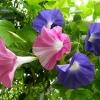 ดอกผักบุ้งฝรั่งมิกซ์ Morning Glory Mix / 40 เมล็ด