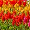 สร้อยไก่ รอยัล มิ๊กซ์ คละสี #6 Celosia Mix / 30 เมล็ด